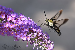 H. diffinis  (Explored) (dbifulco) Tags: hemarisdiffinis budddleia flight flower flying insect nature newjersey snowberryclearwingmoth wildlife yard