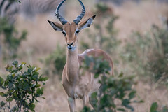 Munching impala (knipslog.de) Tags: munching impala wildlife botswana botsuana safari adventure wild animals selfdrivesafari