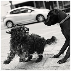 Dog Language. Showing teeth. (bo foto) Tags: dog dogs language doglanguage street maltezer cairn cairnterrier carnecorso olthof nikon teeth littledoglaughednoiret