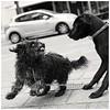 Dog Language. Showing teeth. (bo foto) Tags: dog dogs language doglanguage street maltezer cairn cairnterrier carnecorso olthof nikon teeth littledoglaughednoiret