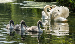 Clumber Park IMG_4360 (oddlegs) Tags: bassetlawdistrict england unitedkingdom swan clumberpark hardwick