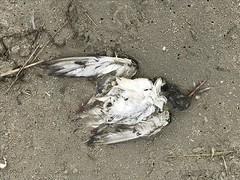 Huîtrier pie (kingfisher001) Tags: oiseau mort huîtrierpie