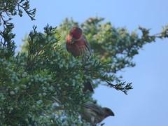 House Finch, July 23,2017 (gurdonark) Tags: bird birds wildlife house finch male green park allen texas