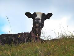 Sheep (Sharon B Mott) Tags: sheep farmanimal animal nature thryberghcountrypark southyorkshire july summer