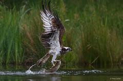 Visarend - Osprey - Pandion haliaetus -8160 (Theo Locher) Tags: osprey visarend fischadler balbuzardpecheur pandionhaliaetus birds vogels vogel oiseaux schotland scotland copyrighttheolocher