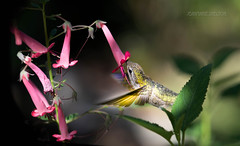 Sweet Treat (jeanmarie's photography) Tags: jeanmarieshelton jeanmarie hummingbird nikon nikond810 nature 90mmmacro tamronlens wildbird wildanimal fuchsia macro bokeh