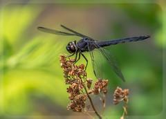 Slaty Skimmer  Libellula incesta - male (claudiaulrikegoodall) Tags: