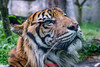 Khunde ♂ - Rain, Rain, Go Away (Belteshazzar (AKA Harimau Kayu)) Tags: khunde tiger zoo cat asian asiancat bigcats sumatran pantheratigrissumatrae animal sumatratiger tigredesumatra суматранскийтигр tygrsumaterský tygryssumatrzański sumatraansetijger szumátraitigris uenozoologicalgardens tigre тигр tygr tijger tigris fuengirola spain ueno 수마트라호랑이 苏门答腊虎 虎 tokyo toodarnhot hổsumatra sumatrakaplanı เสือโคร่งสุมาตรา सुमात्रनवाघ სუმატრისვეფხვი טיגריססומטרה harimausumatera ببرسوماترایی predetor beast carnivorous flesheating tiikeri sumatrantiikeri the spaniard wonderful rembrandt rembrandtlighting the4thofjuly independenceday bathing swimming nobeastsofiercebut flehmen flehmenresponse king kingoftheenclosure feline mouser grimalkin mammal fierce predatory predator fierceanimal japan bathingtiger flickrbigcats higashiyamazoologicalgardens yagiyamazoologicalgardens sendai