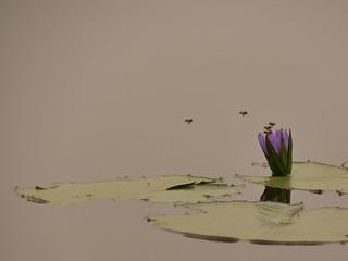 Bees on waterlilly in Burundi