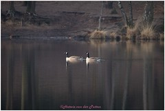 Canadese ganzen (HP023000) (Hetwie) Tags: staatsbosbeheer canadeseganzen goose ven water geese nature natuur overasseltseenhatersevennen fens ganzen overasselt gelderland nederland