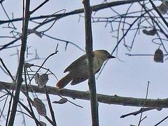 EC17b01919a (jerryoldenettel) Tags: 170706 170707 2017 becard chestnutcrownedbecard ecuador pachyramphus pachyramphuscastaneus passeriformes tityridae yasuninationalpark bird passerine
