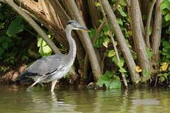 Graureiher | Heron (jensfechter) Tags: elements graureiher luisenpark mannheim see bootsfahrt