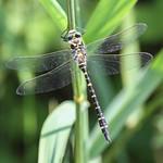 golden ringed dragonfly Gwasneidr eurdorchog thumbnail