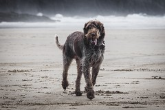 Wesley (Forty-9) Tags: july eflens forty9 sea beach dog tomoskay ef70300mmf456isusm spinone lightroom seaside canon eos60d cornwall 19thjuly2017 2017 wednesday italianspinone wesley 19072017