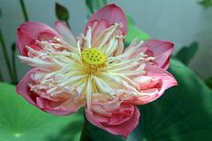 150329 Madame Lotus, Saïgon, Vietnam (Christian Chene Tahiti) Tags: canon 7d fleurdelotus lotus hochiminville saïgon macro blossom closer parking vietnam travel voyage jaune blanc rose fleur flower flor flores pastel plante brillant