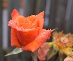 Rainy Rose (Bebopgirl1969) Tags: rose raindrops flower garden