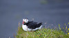 Puffin / Papageientaucher (Role Bigler) Tags: alcidae canoneos5dsr ef4070200isusml efextender14iii fraterculaarctica highiso iceland island natur nature papageientaucher puffin bird dyrhólaey vik vogel