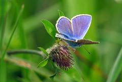 P1300107- Hauhechelbläuling (Bine&Minka2007) Tags: schmetterlinge butterfly insekten insects insekt nature natur macro makro bläulinge bläuling christal closeup falter edelfalter gx8 lumix leica100400