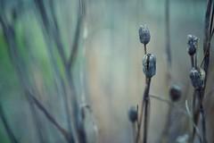 life is gone (christian mu) Tags: flowers nature winter bokeh münster muenster botanicalgarden botanischergarten schlossgarten christianmu 50mm 5014 planar5014 sonya7ii sony planar