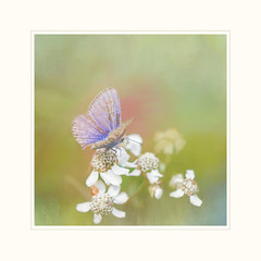 Summer Beauty (BirgittaSjostedt) Tags: butterfly commonblue flower closeup macro paint texture frame unique birgittasjostedt magicunicornverybest ie