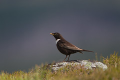Ring Ouzel (Byron Taylor) Tags: ringouzel ouzel ring wildlife nature highlands canon7d canon cairngorms cairngormnationalpark nationalpark