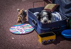 Dog Tired (TD2112) Tags: tonyduke hastings dog busker pavement sleep cute suitcase