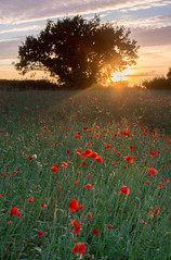 Shepshed Poppy Sunset (Julian Barker) Tags: shepshed leicestershire poppies backlighting sunset sundown dusk field east midlands england uk europe flora rural tree landscape countryside canon dslr 600 julian barker