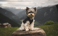 Ready for some adventures (codeseven) Tags: lucy yorkie biewer dog littledog nature valley sky green chaeserstatt valais switzerland oberwallis
