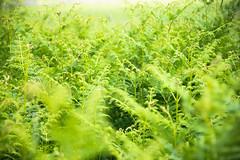 Haze (marktmcn) Tags: bracken ferns fern hazy summer summers day haze dense greenery green d610 nikkor 28300mm