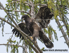 Bald Eaglet (Mike Black photography) Tags: bald eagle eaglet bird nature big year birding raptor canon mike black nj new jersey shore photo photography trees belmar shark river white feathers flying green nest