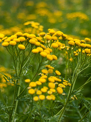 Common Tansy (jlslaney) Tags: miranda35mmf28 commontansy flower wildflower weed micro43 dof depthoffield bokeh legacylens vintagelens