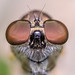 The Funny Robberfly