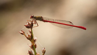 Small Red Damselfly, male (Ceriagrion tenellum)