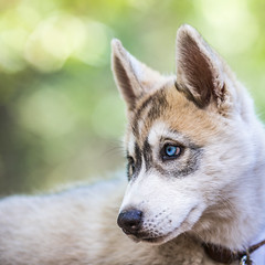 Camp Augusta (Thomas Hawk) Tags: california campaugusta husky nevadacity camp dog puppy summercamp fav10 fav25