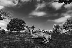 After breakfast (HarQ Photography) Tags: monochrome blackandwhite fujifilm fujifilmxseries xt2 xf1655mmf28rlmwr deer animal japan nara morning