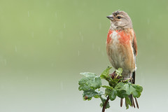Patience (Andrew_Leggett) Tags: linnet cardueliscannabina bird finch perched rain shower summer nature wildlife green red depthoffield natural rspboldmoor