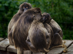 Peeping (dcg.photos) Tags: baboon monkey gelda colchesterzoo zoo huddle