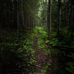 Forest (laurilehtophotography) Tags: forest path trees rain raining green dirt nature summer 2017 nikon d610 tamron 2470mm evening hyyppää suomi finland laukaa metsä polku kesä