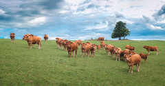 Troupeau de vaches (Marc Andreu) Tags: animal nature prairie mane light lumiére outdoor extérieur country vache cow horn corne bovin paysage champ meadow arbre tree troupeau herd agriculture grass herbe rural campagne countryside field boeuf beef