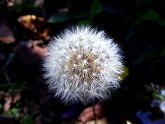 Dandelion (thauanafmodler.s) Tags: dandelion nature wild nikon photo white