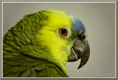 StateFairBird_3205 (bjarne.winkler) Tags: 2017 california state fair castatefair parrots green that talks when there is something be talk about