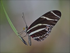 It's Lonely At The Tip (ACEZandEIGHTZ) Tags: heliconius nikon d3200 butterfly backyard zebralongwing coth5 sunrays5 stripes sideview charithonia