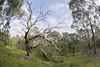Woodlands fish-eye 2017-07-28 (5D_32A1286) (ajhaysom) Tags: nationaltreeday fisheye sigma15mmf28exdgdiagonalfisheye canoneos5dmkiii tree woodlandshistoricpark greenvale melbourne australia