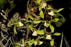 Sarcochilus parviflorus (andreas lambrianides) Tags: sarcochilusparviflorus orchidaceae greentreeorchid sarcochilusolivaceus australianflora australiannativeplants australianrainforests australianrainforestplants australiannativeorchids australianrainforestorchids epiphyte lithophyte arfp qldrfp nswrfp arfflowers greenarfflowers