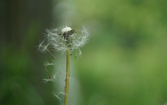playing with the wind (kinaaction) Tags: dandelion blowball nature green sonyilce6000 dmuchawiec flora