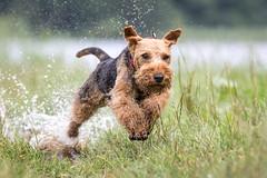 Welsh Terrier (Bea Antoni) Tags: canon summer outdoors action welshterrier terrier pet animal haustier tier hunde hund dogs dog