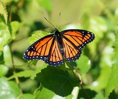 Viceroy Butterfly (vischerferry) Tags: viceroy butterfly mimic limenitisarchippus insect saratogasandplains macro