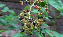 Blackberries (North Downs Kent) (Adam Swaine) Tags: nature naturesfinest macro fruit england english summer british seasons berries canon uk ukvillages kent blackberries macroworld