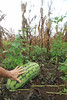 IMG_9404.jpg (Pancholp) Tags: floreana galapagos corn crops watermellon