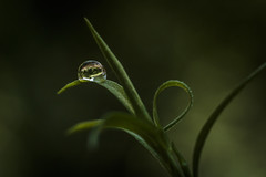 Drop in the green .. (Szücs Dénes) Tags: color nature flower dew rain close drops closeup leaf grass green insect garden little drop flora outdoors wet daylight environment desktop no person yourshot